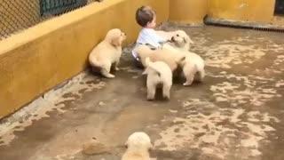 Puppy Attack Golden Retriever