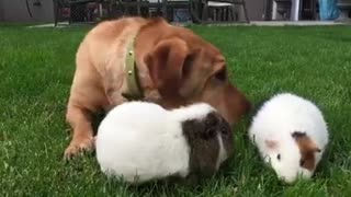 Dog eat grass together with the guinea pigs