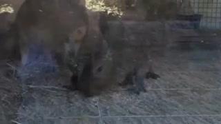 Capybara in safari park.