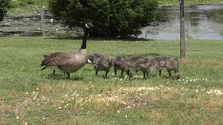 Canada goose family feed on popcorn by the lake