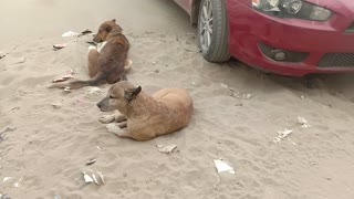 Street dogs get corona virus, and there is no treatment