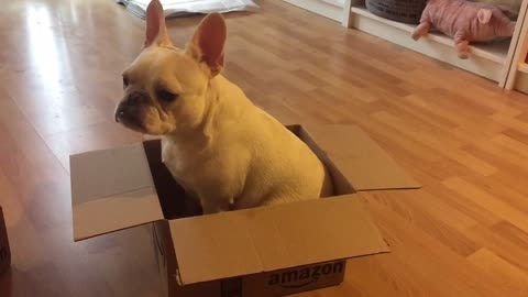 French Bulldog unsure what to do with cardboard box
