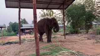เกือบไม่รอด!! ถ้าไปไม่ทัน อัพเดทอาการ ช้างพังนำ้เพรช(เเม่นกเเก้ว) Mother elephant