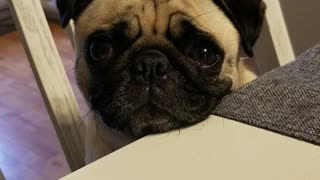 Pug Puppy Crying for a Piece of Dinner
