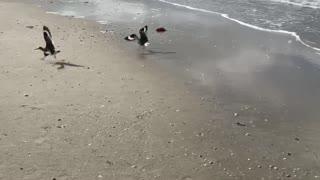 Willet Birds Fighting