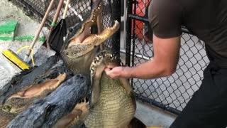 man feeding crocodile