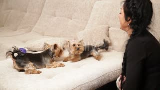 Two dogs playing on sofa