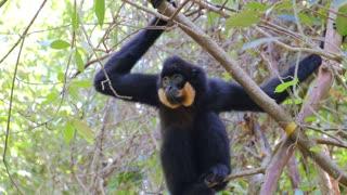Orange Sloth Monkey