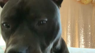 Pit Bull Won't Bite When Finger Is Put in His Mouth