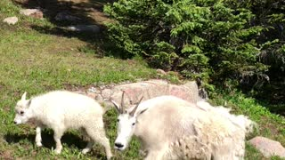 Hanging With Some Mountain Goats