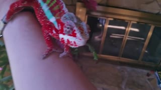The Chameleon Playing with a Man Hand