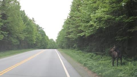 Moose on dashcam