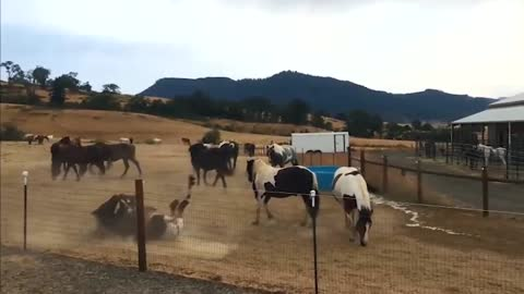 Rescued horses playing in water to stay cool on a hot day