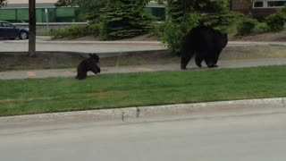 Cubs Walk with Mama Bear Around Anchorage