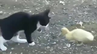 cute cat play with a small duck