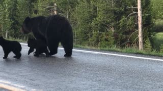 Mama Grizzly Walks Her Cubs down Yellowstone Road