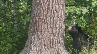 Bear Cubs Having Fun in Backyard