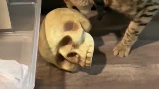 Savannah Cat Plays with Skull