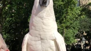 Cockatoo Keeps the Beat