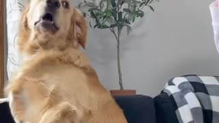 golden retriever is TERRIFIED of party popper