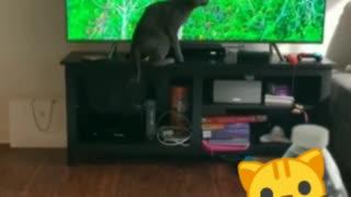 Cat attacked tv