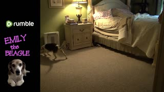 Beagle v.s. Rodents