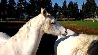 Pure white horses