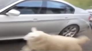 funny video The sheep is dancing in the street