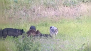 Wolf Pack Chases Grizzly Bear