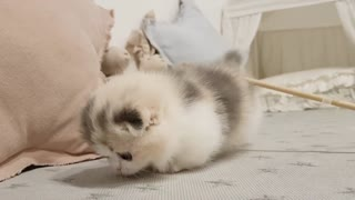 cute kitten with small legs