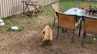 Dog Chases Ball Without Running