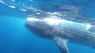 Whale shark passes within inches of thrilled photographer