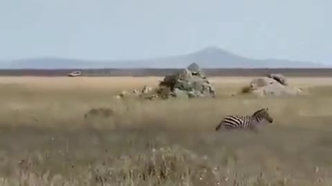 Zebra is in action time
