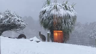 Snow Doesn't Stop Kangaroos Getting Out and About
