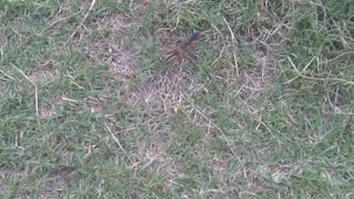 Wasp drags spider