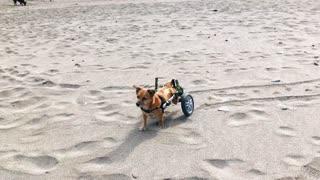 Surprised Wheelchair Dog