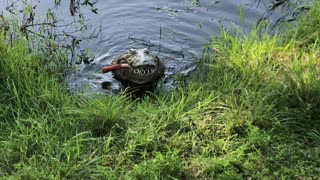 Hungry Nile Crocodile