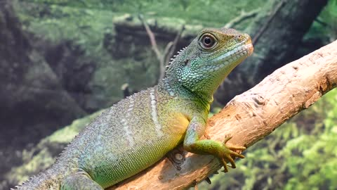 Water dragon video see now j