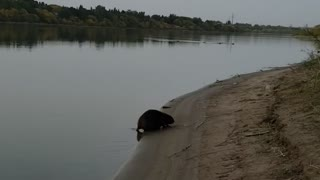 I will follow the beaver
