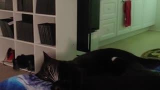Kitties wrestling