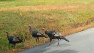 Native Wild Turkeys