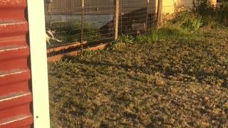 Doggo Jumping Fence Fails Successfully