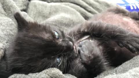 Kitten Licking its own Paw