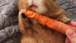 Guinea Pig Crunches Through Carrot