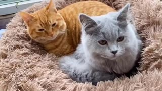 There's such a difference between before and after a kitten's pregnancy!