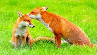 Fox Mirage Theme 3