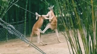 boxing fight with violent animal