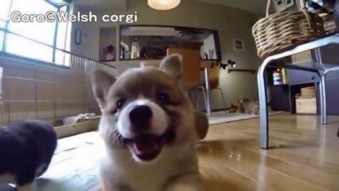 In 30 sec, These Hilarious Slow-Mo Corgi Puppies Will Make You Laugh & Smile!
