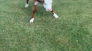 Happy Cow Bounces around in Backyard