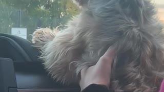 Windshield Wipers Drive Dog Wild
